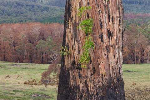 Gumtree with new growth after bushfire