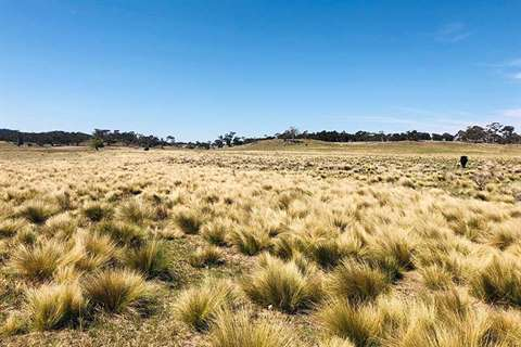 Paddock filled with serrated tussock weeds