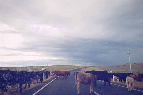 Cows across local road